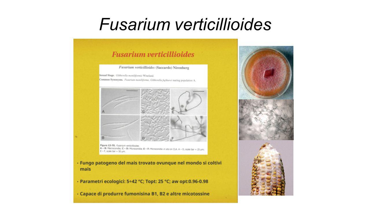 Crescita e virulenza in vivo Pin-bar inoculation Spighe inoculate con WT e ΔFvlds1 A 7 dai il mutante genera un'area lesiva più estesa 21/10/2014 Ruolo delle ossilipine nel modellare le attitudini patogeniche di Fusarium verticillioides, patogeno fungino del mais Pagina 12