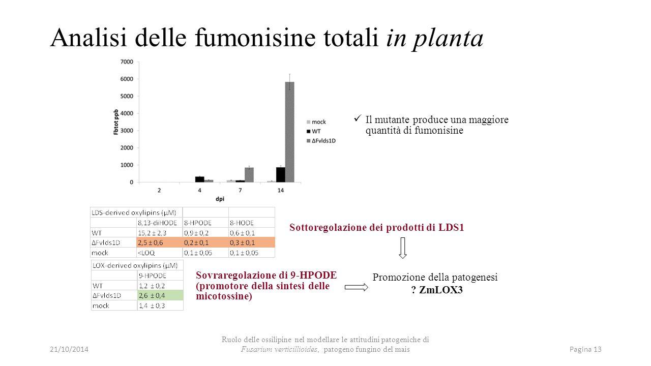 Analisi delle fumonisine totali in planta Sovraregolazione di 9-HPODE (promotore della sintesi delle micotossine) Il mutante produce una maggiore quan