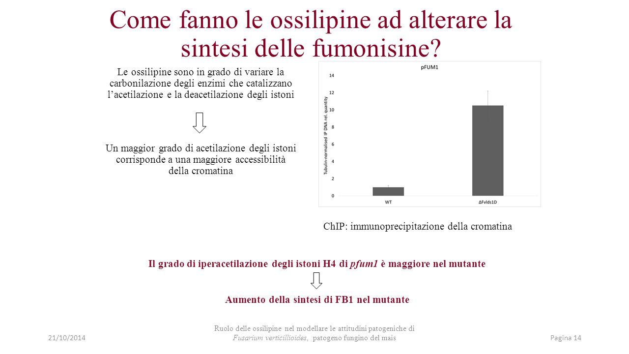 Come fanno le ossilipine ad alterare la sintesi delle fumonisine? Il grado di iperacetilazione degli istoni H4 di pfum1 è maggiore nel mutante Aumento