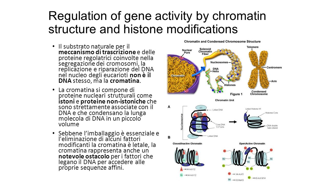 Regulation of gene activity by chromatin structure and histone modifications Il substrato naturale per il meccanismo di trascrizione e delle proteine