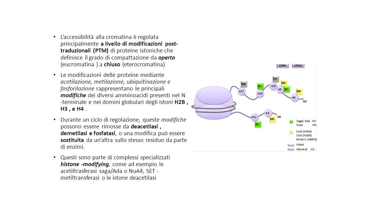 L'accessibilità alla cromatina è regolata principalmente a livello di modificazioni post- traduzionali (PTM) di proteine istoniche che definisce il