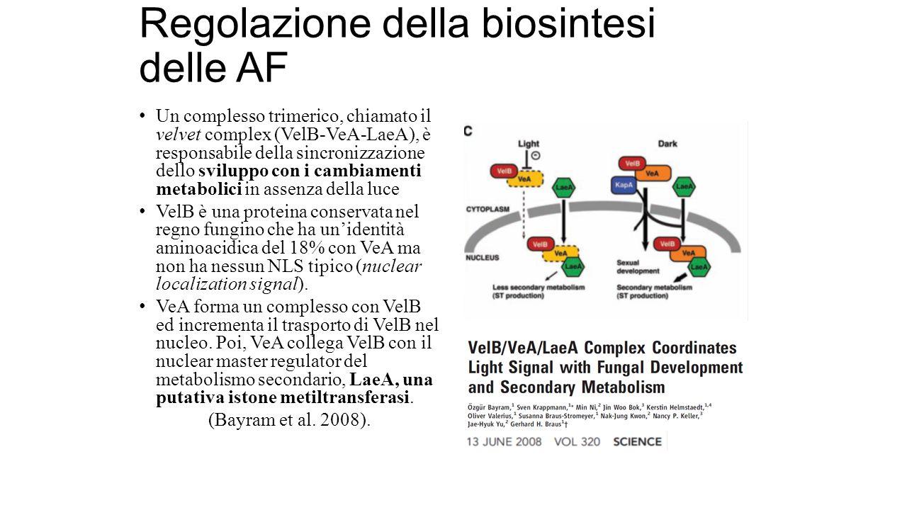 Regolazione della biosintesi delle AF Un complesso trimerico, chiamato il velvet complex (VelB-VeA-LaeA), è responsabile della sincronizzazione dello