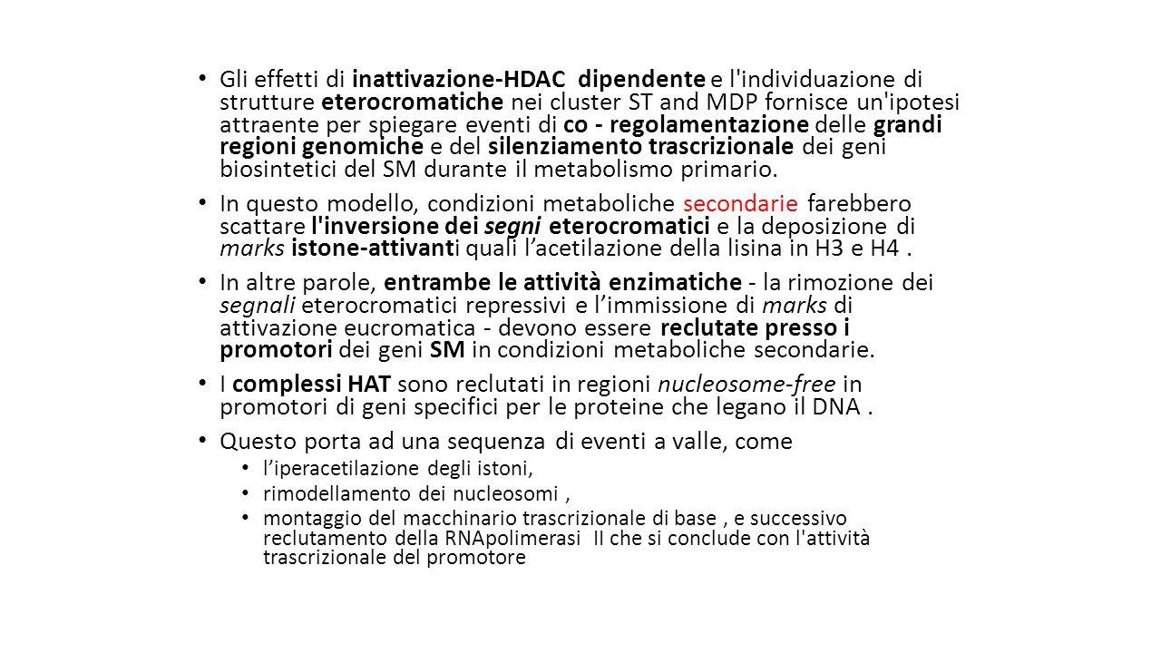 Gli effetti di inattivazione-HDAC dipendente e l'individuazione di strutture eterocromatiche nei cluster ST and MDP fornisce un'ipotesi attraente per