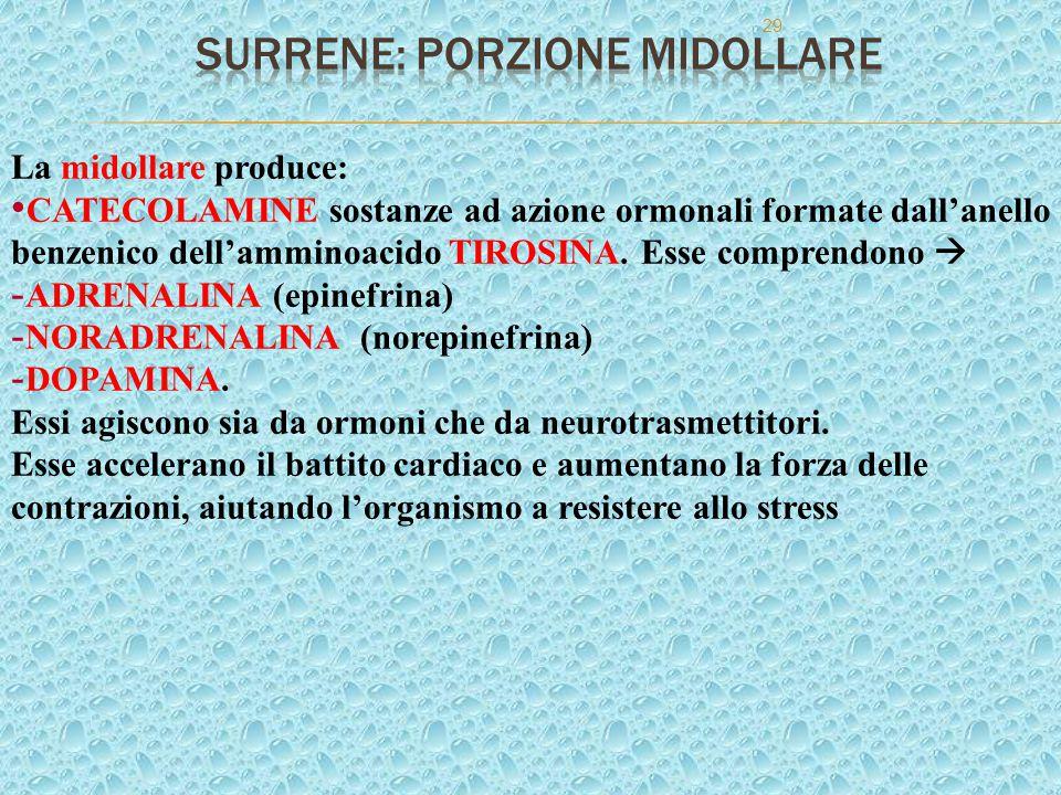 29 La midollare produce: CATECOLAMINE sostanze ad azione ormonali formate dall'anello benzenico dell'amminoacido TIROSINA. Esse comprendono  - ADRENA