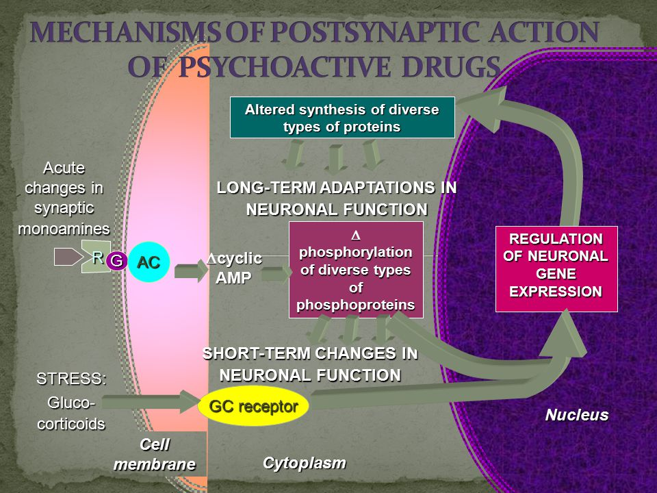  cyclic AMP Cell membrane R G AC Acute changes in synaptic monoamines Nucleus Cytoplasm GC receptor STRESS: Gluco- corticoids  phosphorylation of di