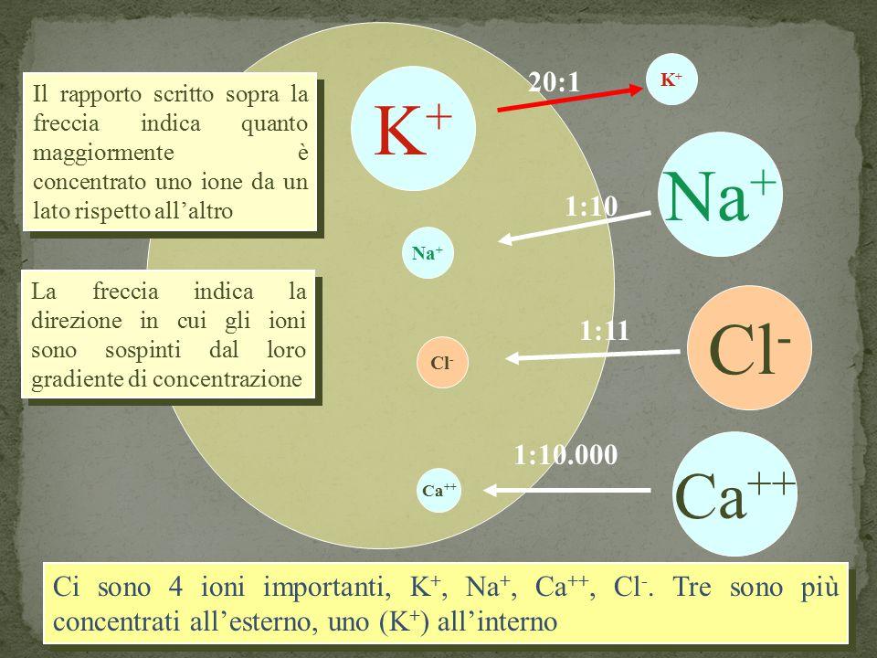 K+K+ K+K+ Na + Ca ++ Cl - 20:1 1:10 1:11 1:10.000 Ci sono 4 ioni importanti, K +, Na +, Ca ++, Cl -. Tre sono più concentrati all'esterno, uno (K + )