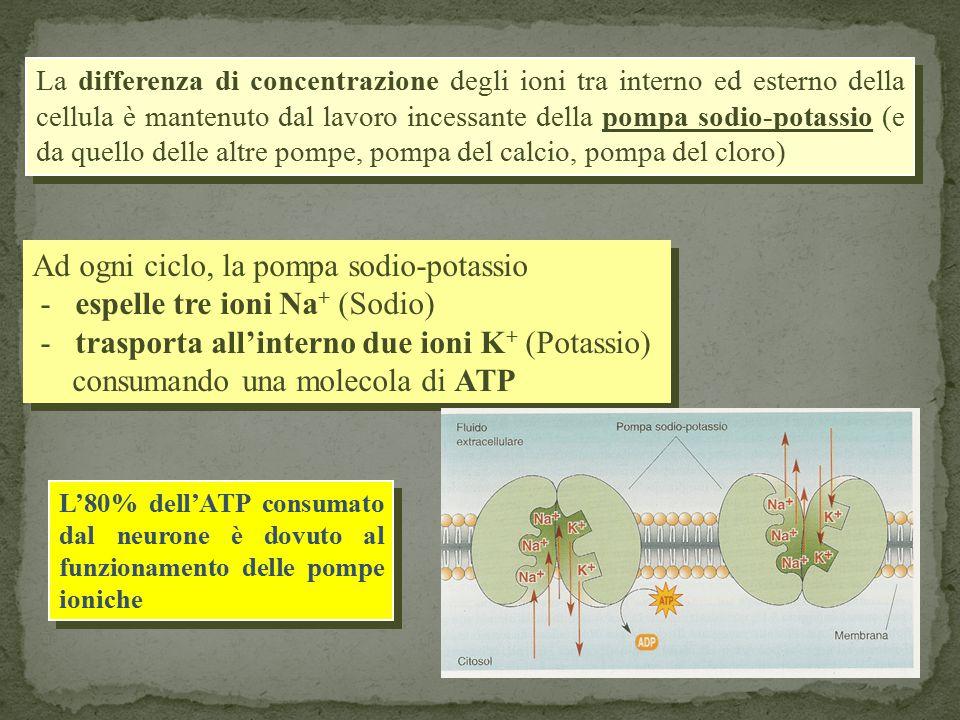 La differenza di concentrazione degli ioni tra interno ed esterno della cellula è mantenuto dal lavoro incessante della pompa sodio-potassio (e da quello delle altre pompe, pompa del calcio, pompa del cloro) Ad ogni ciclo, la pompa sodio-potassio - espelle tre ioni Na + (Sodio) - trasporta all'interno due ioni K + (Potassio) consumando una molecola di ATP Ad ogni ciclo, la pompa sodio-potassio - espelle tre ioni Na + (Sodio) - trasporta all'interno due ioni K + (Potassio) consumando una molecola di ATP L'80% dell'ATP consumato dal neurone è dovuto al funzionamento delle pompe ioniche