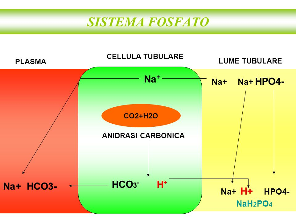 SISTEMA FOSFATO HCO 3 - H + CELLULA TUBULARE CO2+H2O ANIDRASI CARBONICA Na+ H+ HPO4- Na + PLASMA LUME TUBULARE Na+ Na+ HPO4- Na+ HCO3- NaH 2 PO 4