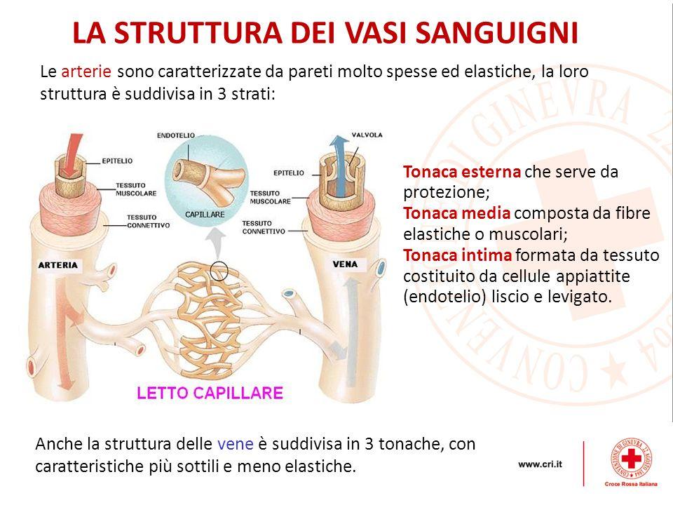 LA STRUTTURA DEI VASI SANGUIGNI Anche la struttura delle vene è suddivisa in 3 tonache, con caratteristiche più sottili e meno elastiche.