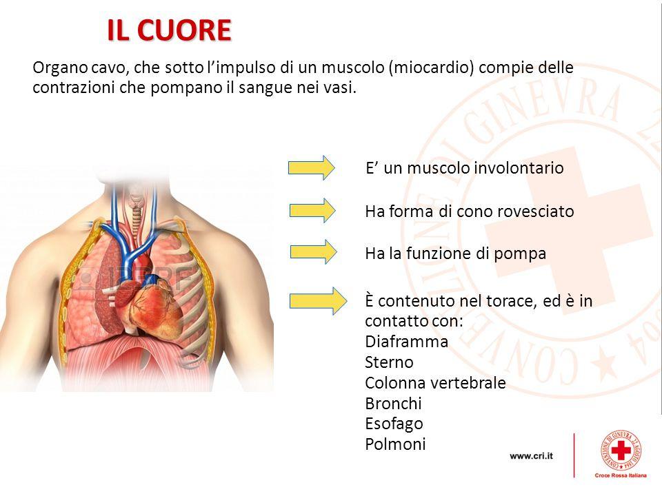 Organo cavo, che sotto l'impulso di un muscolo (miocardio) compie delle contrazioni che pompano il sangue nei vasi.
