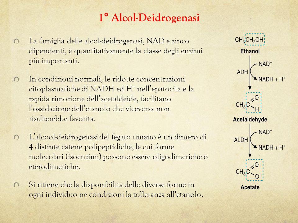 La famiglia delle alcol-deidrogenasi, NAD e zinco dipendenti, è quantitativamente la classe degli enzimi più importanti.