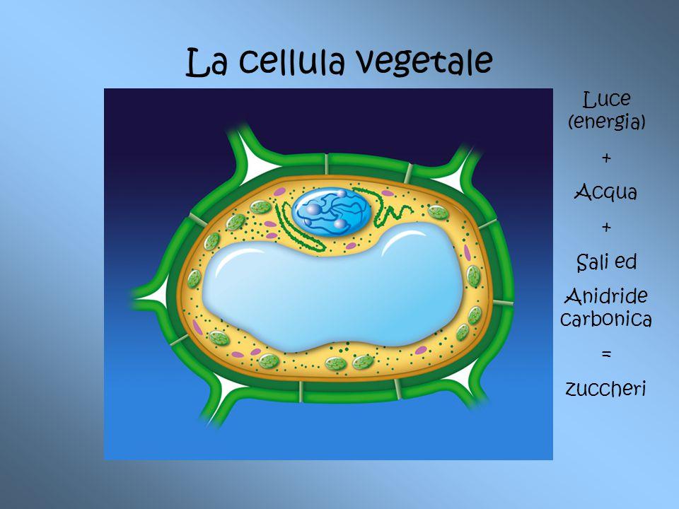 cloroplasti Vacuolo Luce (energia) + Acqua + Sali ed Anidride carbonica = zuccheri