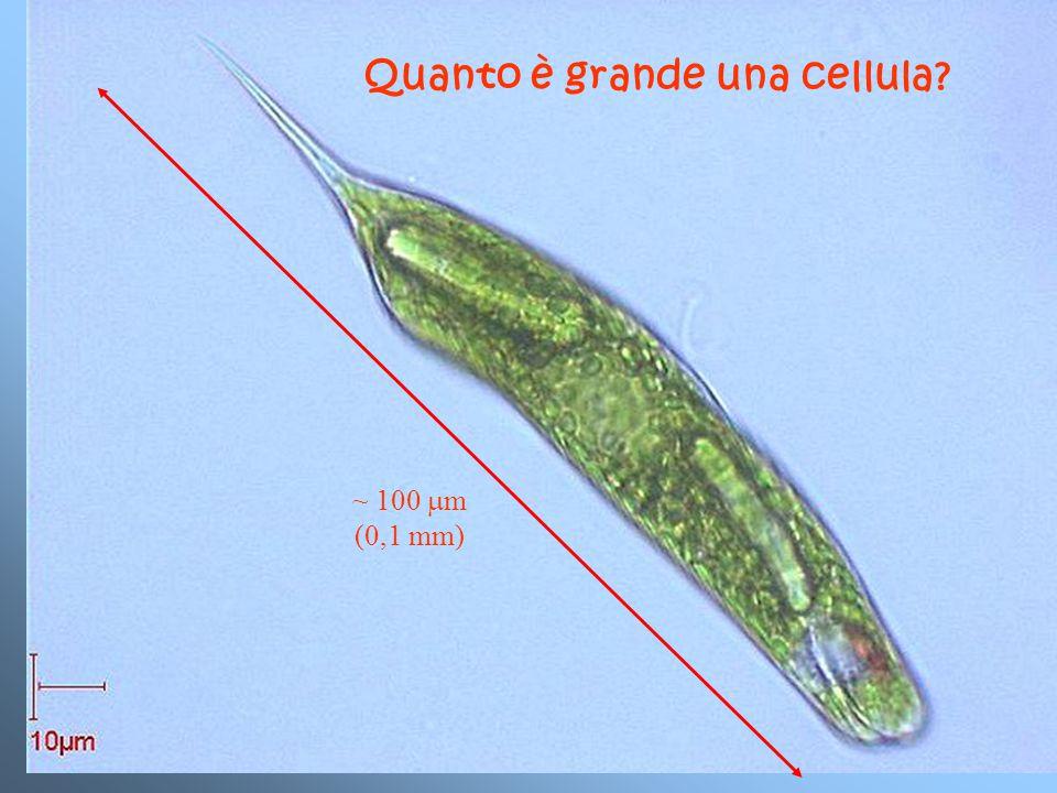 ~ 100  m (0,1 mm) Quanto è grande una cellula?