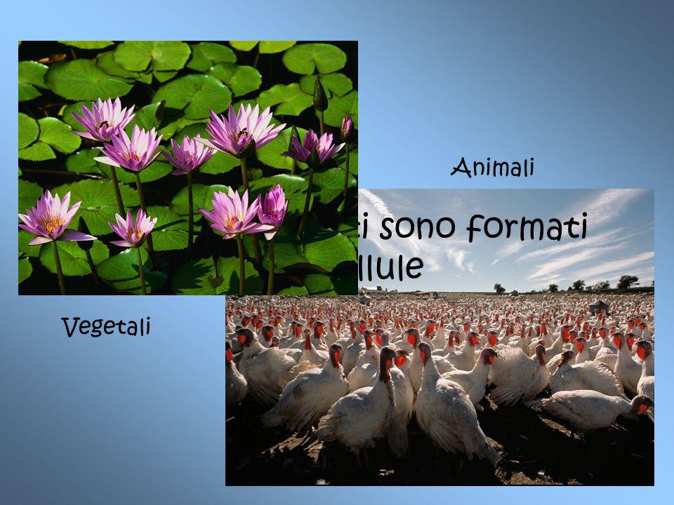 Gli esseri viventi sono formati da cellule Animali Vegetali