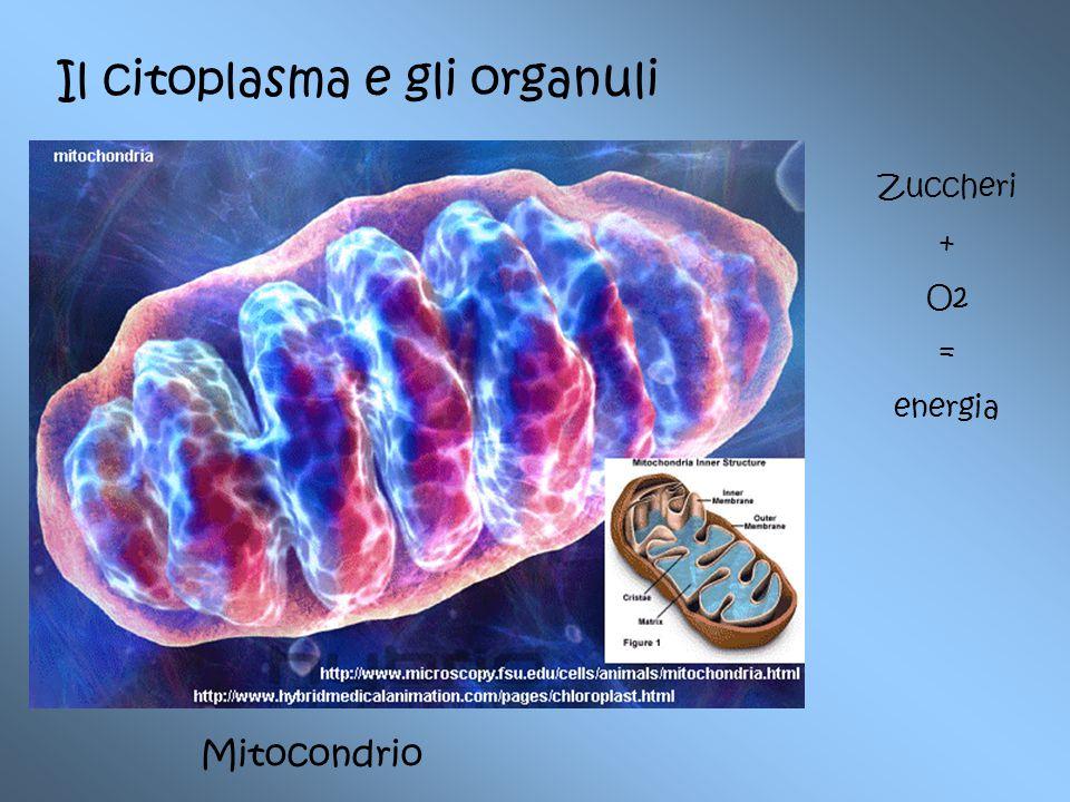 Il citoplasma e gli organuli Mitocondrio Zuccheri + O2 = energia