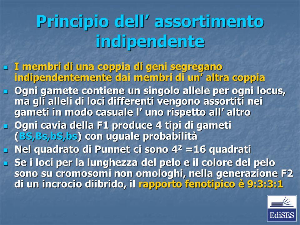 Principio dell' assortimento indipendente I membri di una coppia di geni segregano indipendentemente dai membri di un' altra coppia I membri di una co