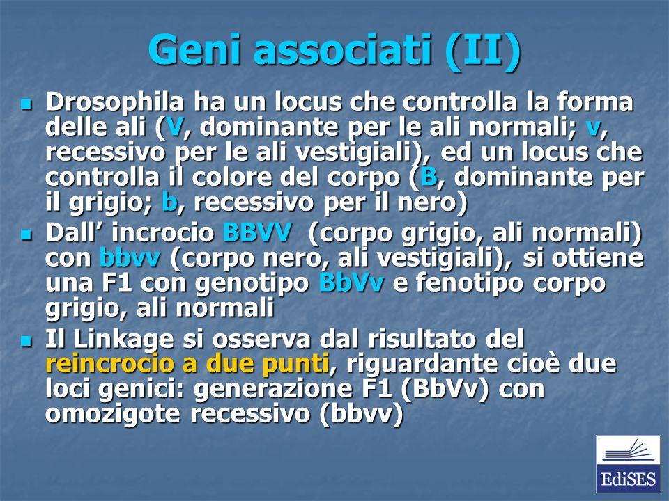 Geni associati (II) Drosophila ha un locus che controlla la forma delle ali (V, dominante per le ali normali; v, recessivo per le ali vestigiali), ed