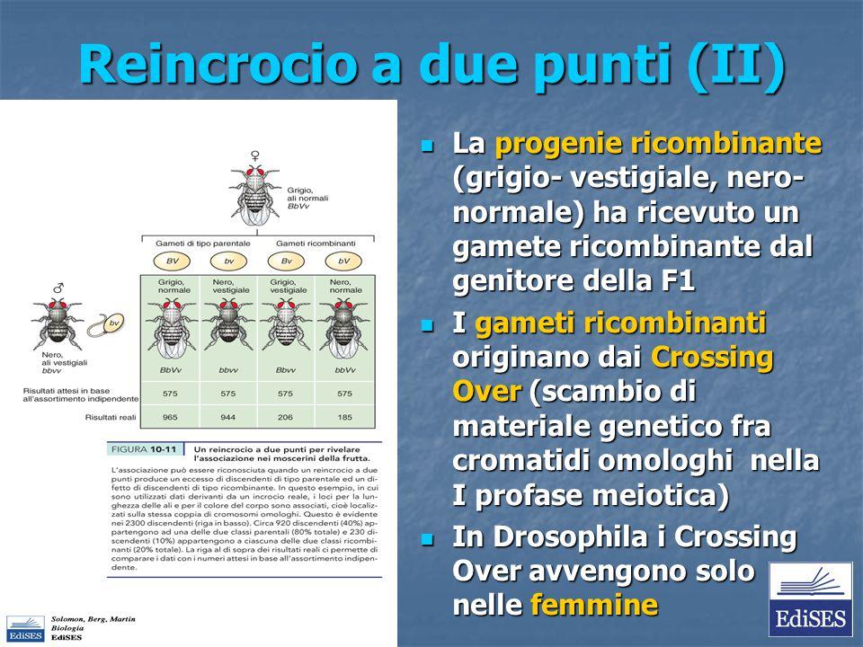 Reincrocio a due punti (II) La progenie ricombinante (grigio- vestigiale, nero- normale) ha ricevuto un gamete ricombinante dal genitore della F1 La p