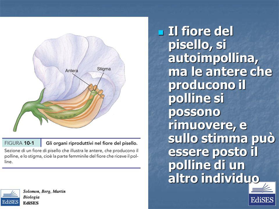 Il fiore del pisello, si autoimpollina, ma le antere che producono il polline si possono rimuovere, e sullo stimma può essere posto il polline di un a