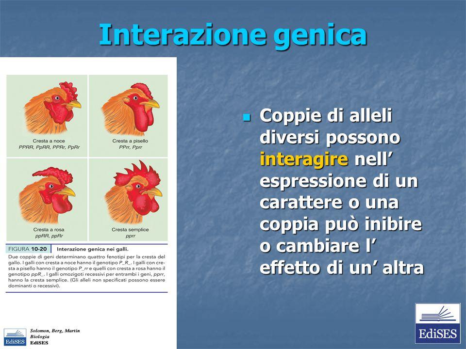 Interazione genica Coppie di alleli diversi possono interagire nell' espressione di un carattere o una coppia può inibire o cambiare l' effetto di un'