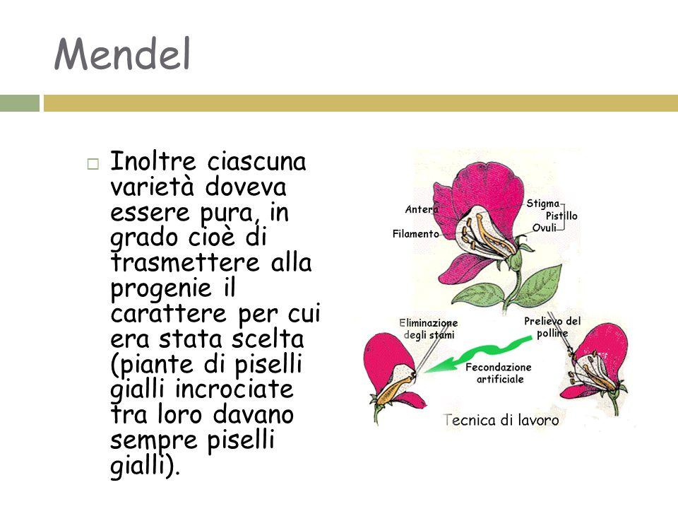 La prima legge di Mendel  Incrociando tra loro due varietà di piante pure (dette parentali, P) differenti per un singolo carattere, per esempio l'altezza, Mendel notò che la progenie di prima generazione, F1, aveva sempre le caratteristiche di una sola delle parentali.