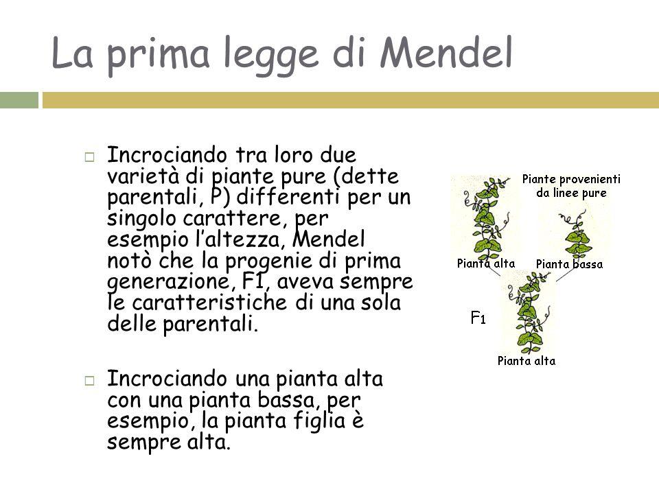 Prima legge di Mendel o legge della dominanza:  Nell'incrocio di due individui con varianti diverse di un carattere, ciascun genitore trasmette una variante; il figlio quindi le ha entrambe, ma solo la variante dominante si manifesta
