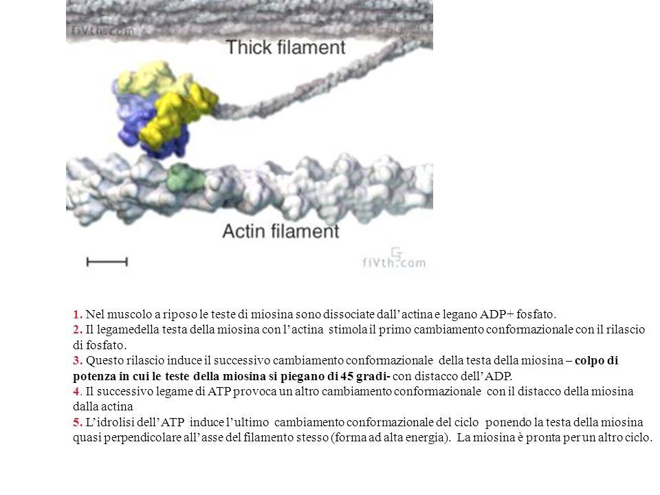 1. Nel muscolo a riposo le teste di miosina sono dissociate dall'actina e legano ADP+ fosfato. 2. Il legamedella testa della miosina con l'actina stim