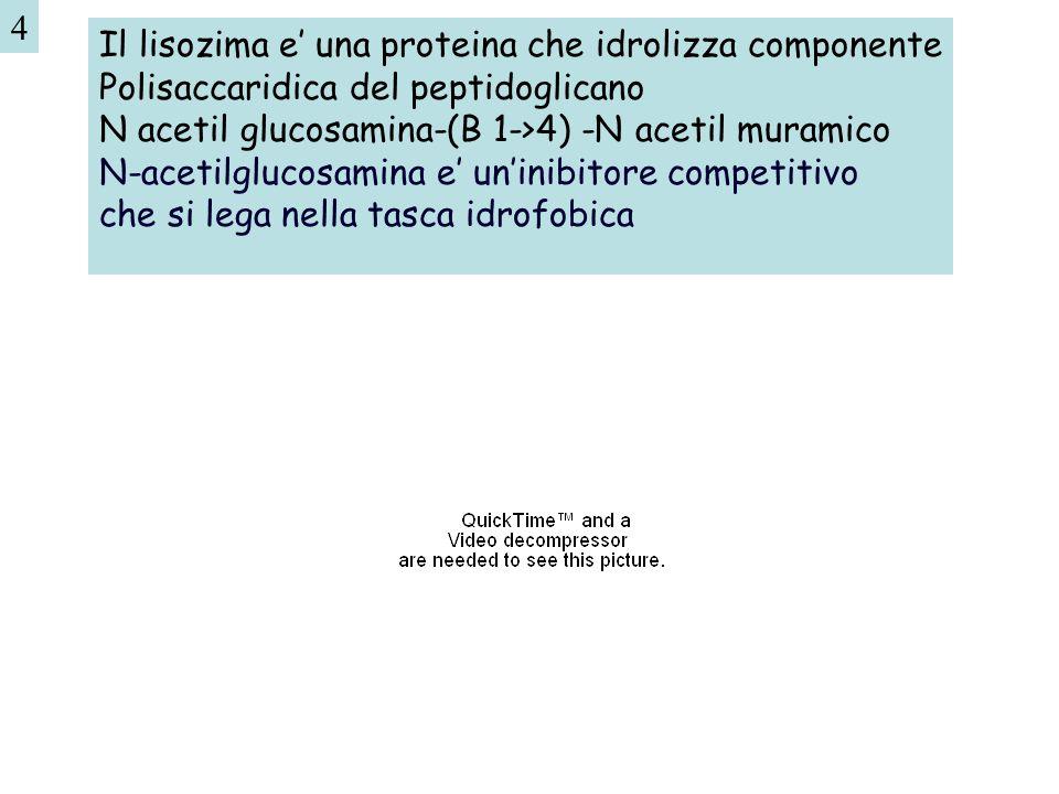 Il lisozima e' una proteina che idrolizza componente Polisaccaridica del peptidoglicano N acetil glucosamina-(B 1->4) -N acetil muramico N-acetilgluco