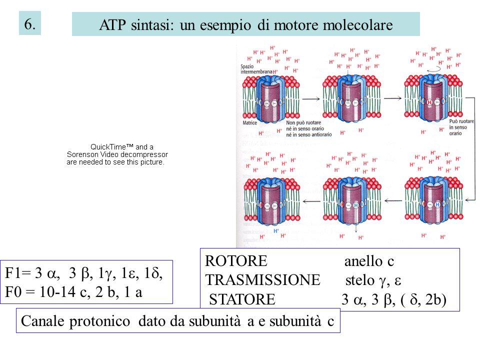 6. ATP sintasi: un esempio di motore molecolare F1= 3 , 3 , 1 , 1 , 1 , F0 = 10-14 c, 2 b, 1 a ROTORE anello c TRASMISSIONE stelo ,  STATORE 3