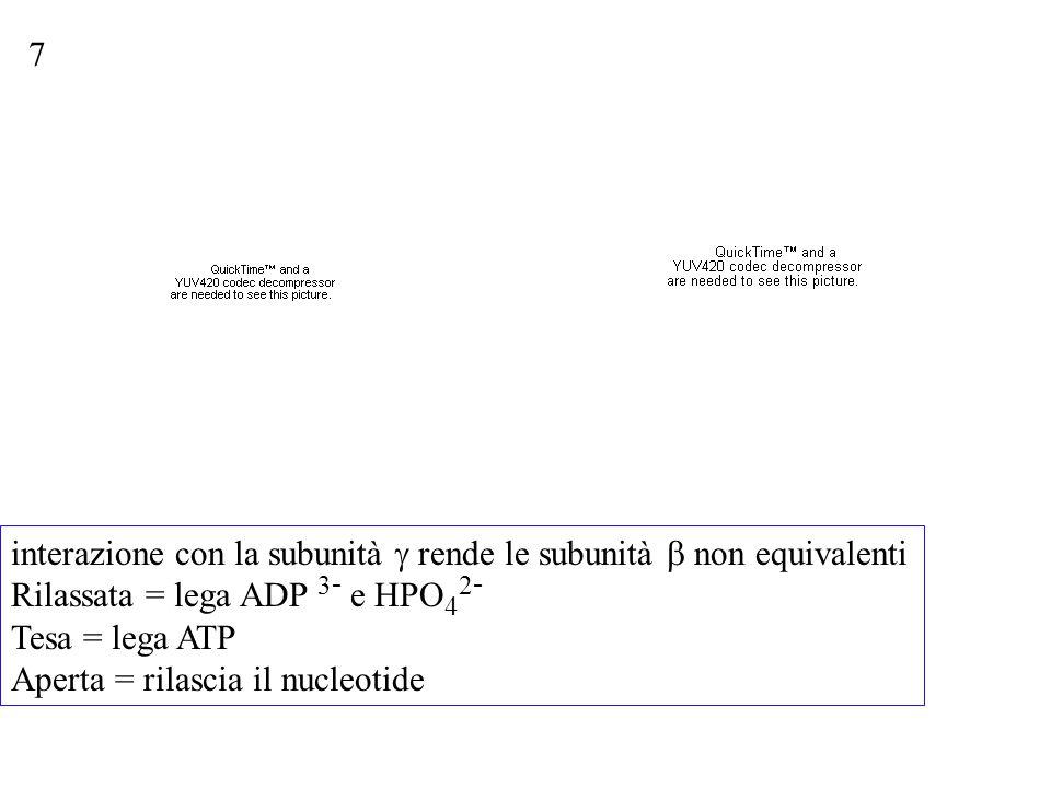 7 interazione con la subunità  rende le subunità  non equivalenti Rilassata = lega ADP 3 - e HPO 4 2 - Tesa = lega ATP Aperta = rilascia il nucleoti