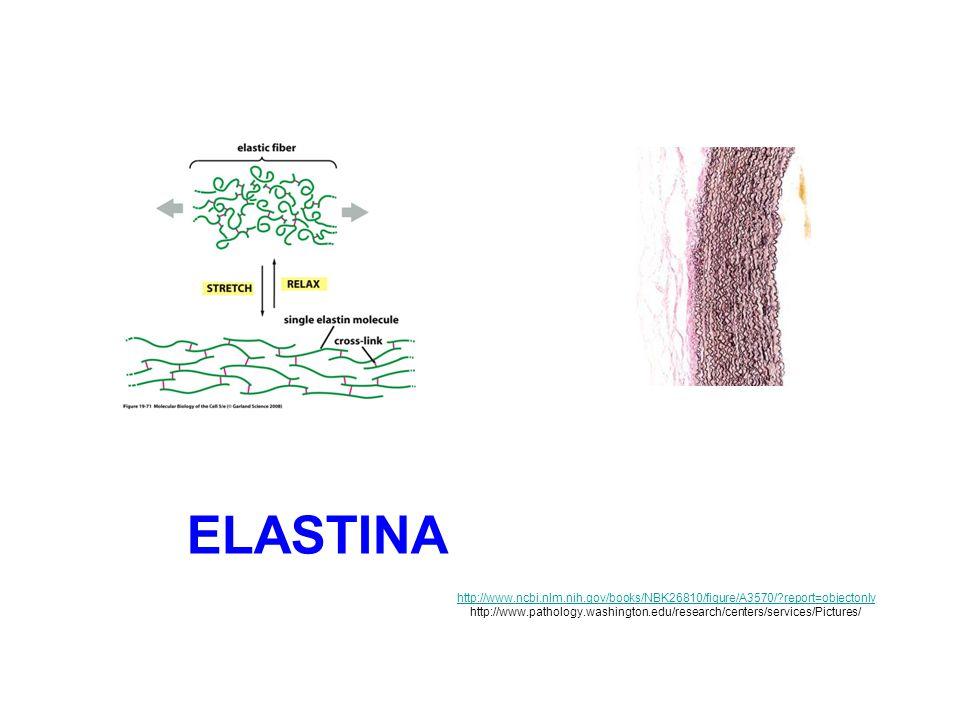 Sintesi e assemblaggio delle fibre di elastina (1) La tropoelastina è secreta come monomero principalmente dai fibroblasti e dalle cellule muscolari lisce nello spazio extracellulare dove subisce separazione di fase (detta «coacervazione») formando globuli ricchi di proteina che in seguito daranno origine alla formazione di fibre elastiche.