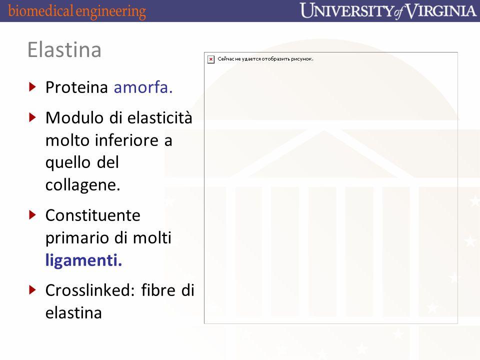 Elastina Proteina amorfa.Modulo di elasticità molto inferiore a quello del collagene.