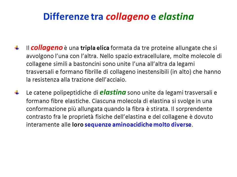 Differenze tra collageno e elastina Il collageno è una tripla elica formata da tre proteine allungate che si avvolgono l'una con l'altra.