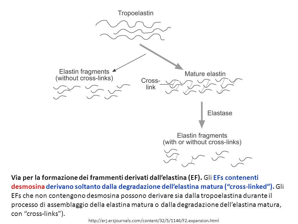 http://erj.ersjournals.com/content/32/5/1146/F2.expansion.html Via per la formazione dei frammenti derivati dall'elastina (EF).
