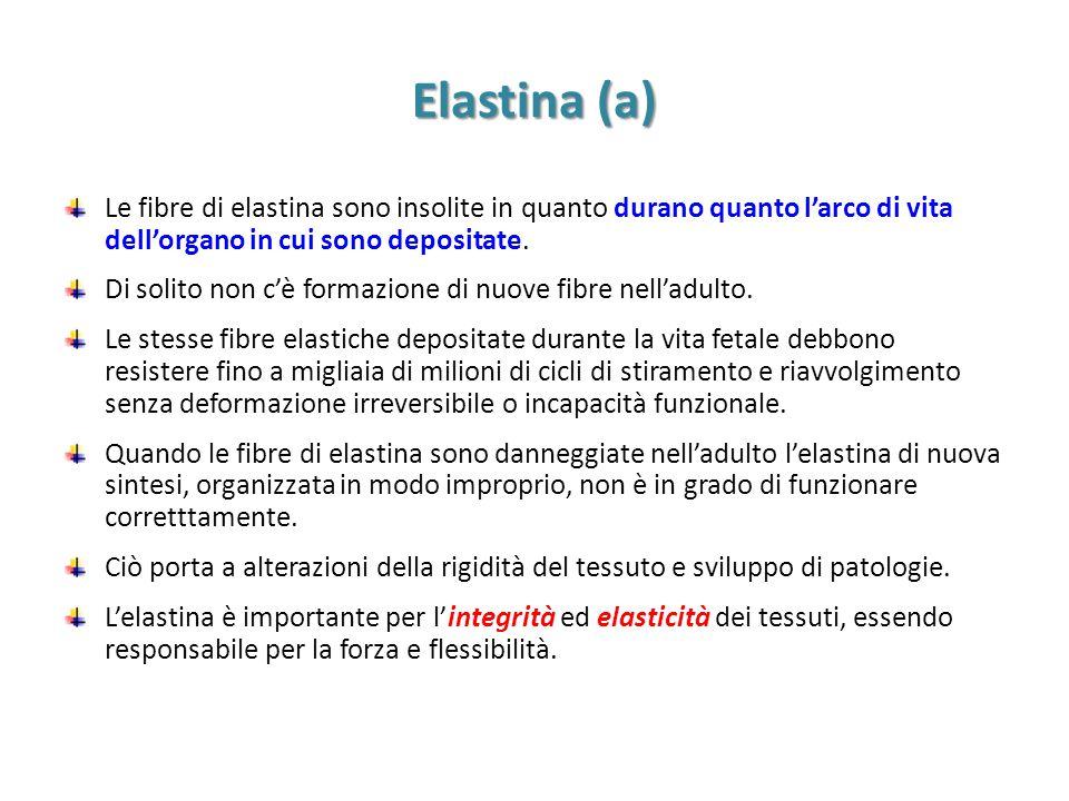 Elastina (b) Le fibre di elastina sono le più lunghe strutture individuali della ECM e sono composte di una serie di monomeri di tropoelastina circondati da un rivestimento di microfibrille.