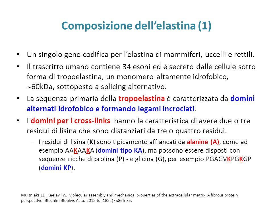 Composizione dell'elastina (1) Un singolo gene codifica per l'elastina di mammiferi, uccelli e rettili.