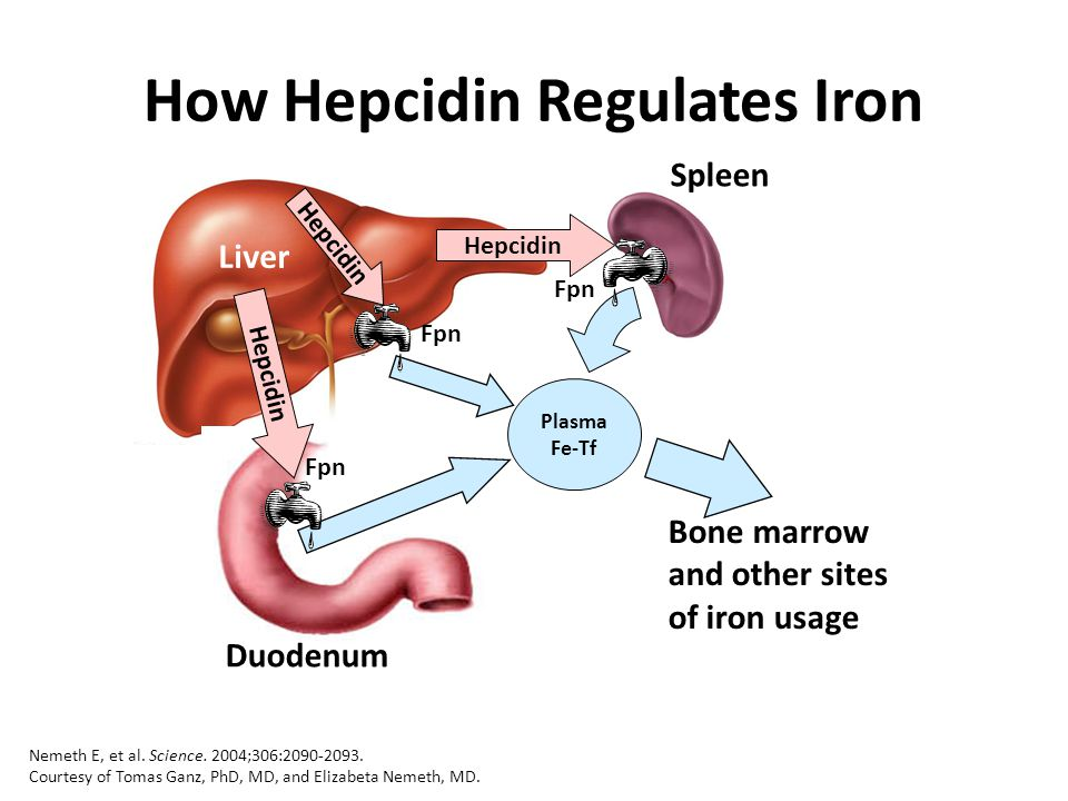 Spleen Liver Duodenum Hepcidin Fpn Plasma Fe-Tf How Hepcidin Regulates Iron Bone marrow and other sites of iron usage Nemeth E, et al. Science. 2004;3
