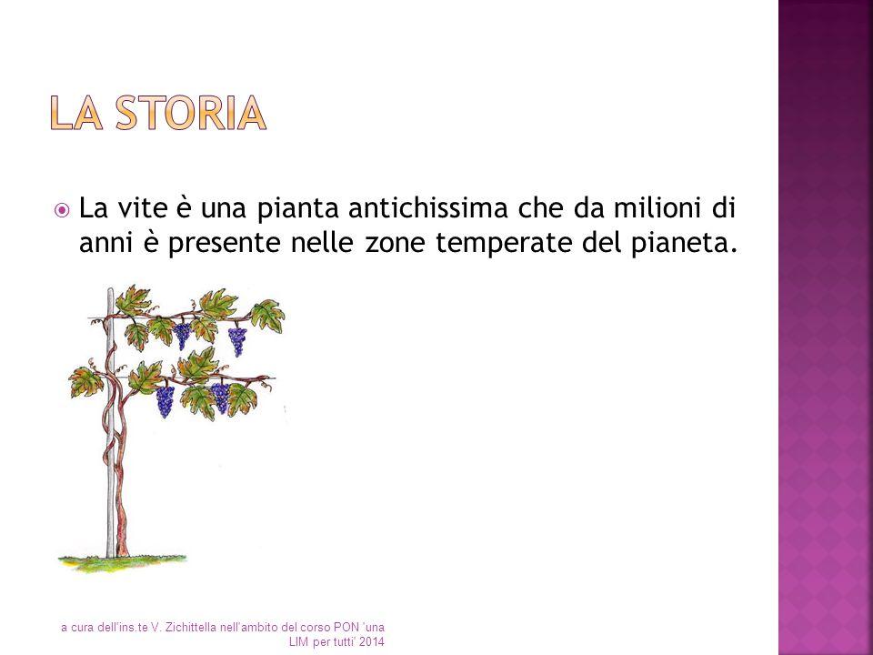  La vite è una pianta antichissima che da milioni di anni è presente nelle zone temperate del pianeta. a cura dell'ins.te V. Zichittella nell'ambito