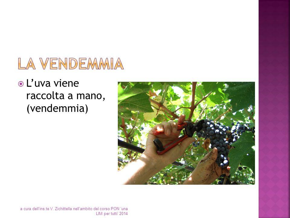  L'uva viene raccolta a mano, (vendemmia) a cura dell'ins.te V. Zichittella nell'ambito del corso PON 'una LIM per tutti' 2014