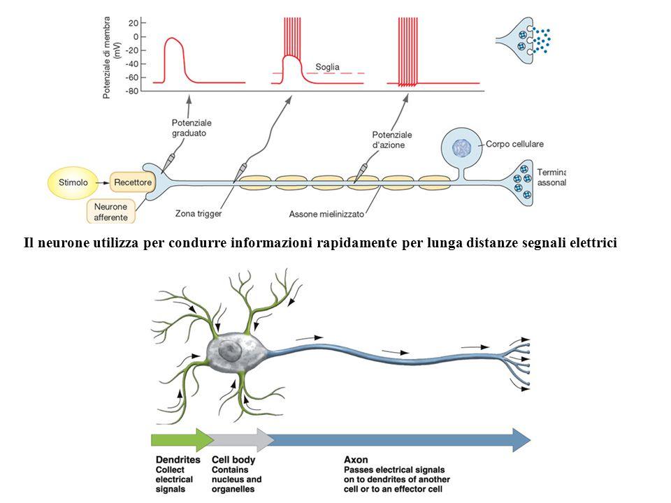 Il neurone utilizza per condurre informazioni rapidamente per lunga distanze segnali elettrici