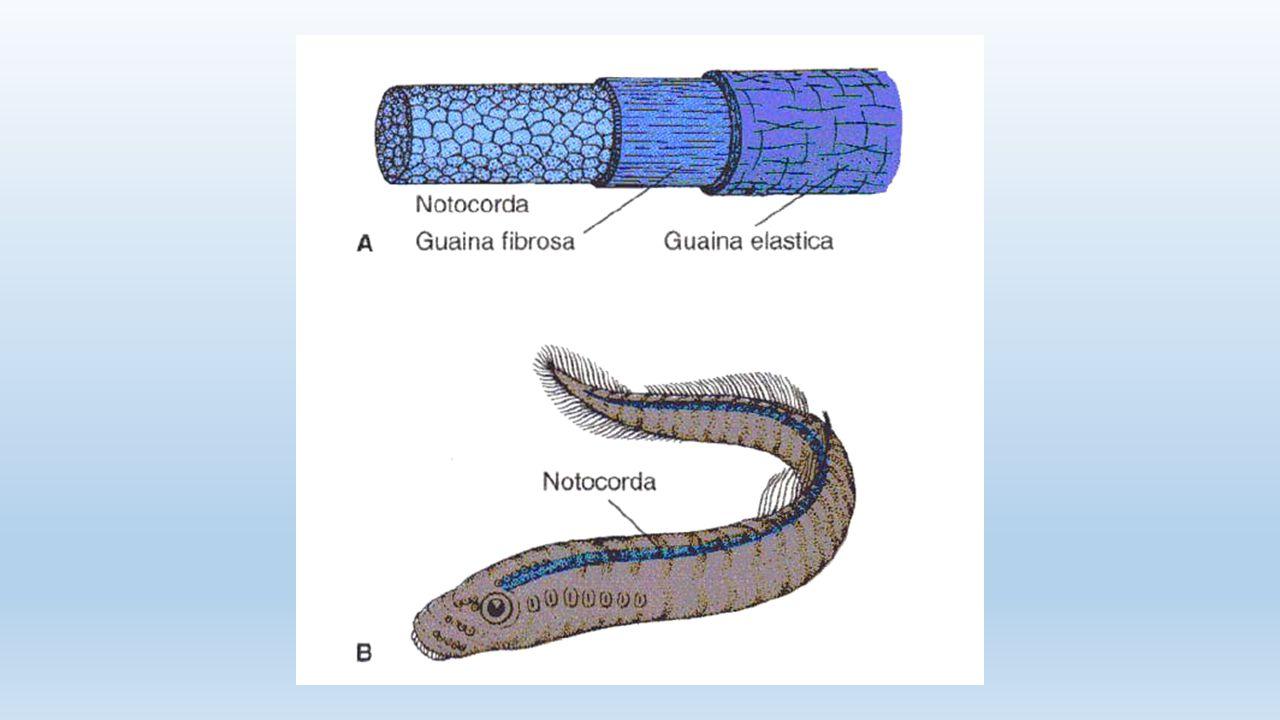 AMPOLLE DEL LORENZINI sul capo, per identificare i campi elettrici delle prede (tutta l'attività muscolare e nervosa produce campi elettrici)