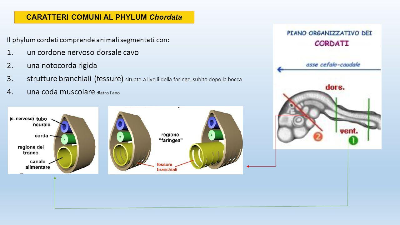 USCITA Forma adulta Bocca Fessure branchiali Cordone nervoso Coda Muscoli segmentati Notocorda Forma larvale I CORDATI INVERTEBRATI Tunicati (ascidie) ADULTO Sessili Non è presente la notocorda, il cordone nervoso e la coda Sono presenti le strutture branchiali LARVA Mobile Presenta tutti e 4 i caratteri dei cordati I cordati più semplici sono i tunicati (ascidie) e i cefalocordati (anfiossi), invertebrati marini sospensivori, che si nutrono delle particelle in sospensione nell'acqua.
