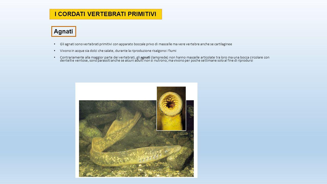 Gli agnati sono vertebrati primitivi con apparato boccale privo di mascelle ma vere vertebre anche se cartilaginee Vivono in acque sia dolci che salat