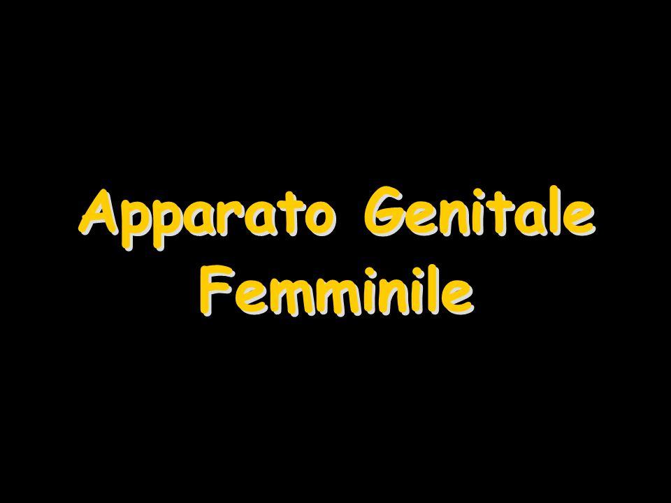 Apparato Genitale Femminile