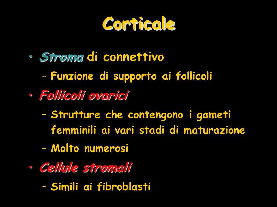 Corticale StromaStroma di connettivo –Funzione di supporto ai follicoli Follicoli ovariciFollicoli ovarici –Strutture che contengono i gameti femminili ai vari stadi di maturazione –Molto numerosi Cellule stromaliCellule stromali –Simili ai fibroblasti