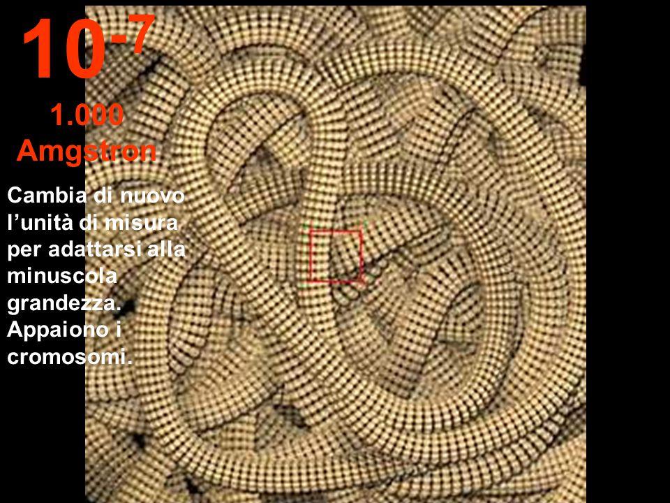 Il nucleo della cellula è ora visibile. 10 -6 1 micron
