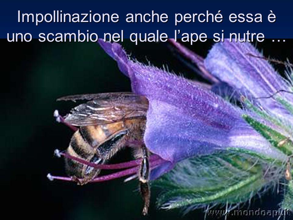 Impollinazione anche perché essa è uno scambio nel quale l'ape si nutre …