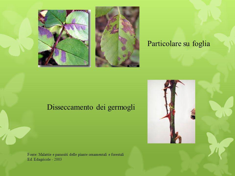 Particolare su foglia Disseccamento dei germogli Fonte: Malattie e parassiti delle piante ornamentali e forestali Ed. Edagricole - 2003