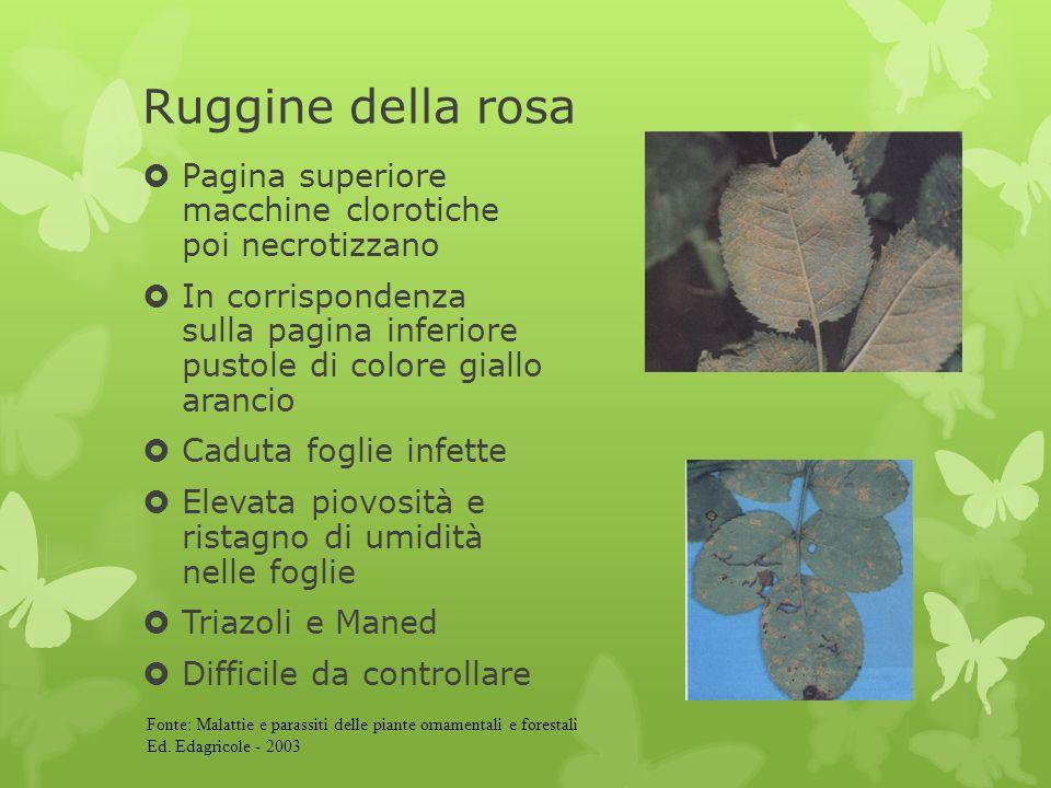 Ruggine della rosa  Pagina superiore macchine clorotiche poi necrotizzano  In corrispondenza sulla pagina inferiore pustole di colore giallo arancio