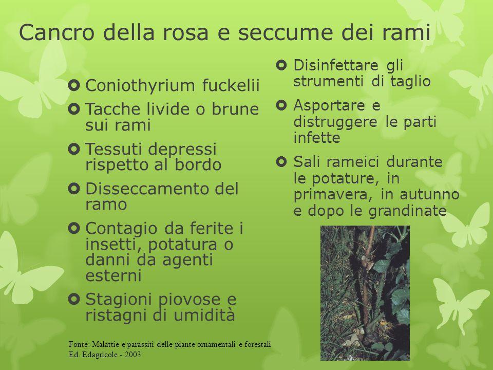 Cancro della rosa e seccume dei rami  Coniothyrium fuckelii  Tacche livide o brune sui rami  Tessuti depressi rispetto al bordo  Disseccamento del